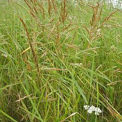 Plant form: Festuca rubra. ~ By Glen Mittelhauser. ~ Copyright © 2018 Glen Mittelhauser. ~ www.mainenaturalhistory.org