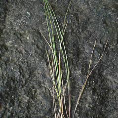 Leaves: Festuca rubra. ~ By Jill Weber. ~ Copyright © 2020 Jill Weber. ~ jillweber03[at]gmail.com