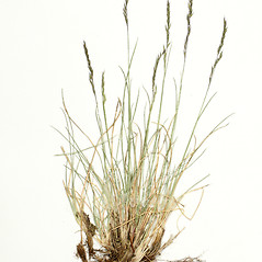 Plant form: Festuca trachyphylla. ~ By Derick B. Poindexter. ~ Copyright © 2018 Derick B. Poindexter. ~ dpoindex[at]live.unc.edu ~ Vascular Flora of Alleghany County, NC - vascularflora.appstate.edu/