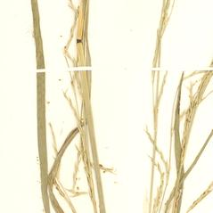 Leaves: Glyceria acutiflora. ~ By William and Linda Steere and the C.V. Starr Virtual Herbarium. ~ Copyright © 2017 William and Linda Steere and the C.V. Starr Virtual Herbarium. ~ Barbara Thiers, Director; bthiers[at]nybg.org ~ C.V. Starr Herbarium - NY Botanical Gardens