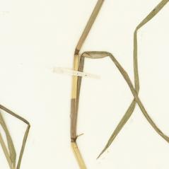 Stems and sheaths: Glyceria acutiflora. ~ By William and Linda Steere and the C.V. Starr Virtual Herbarium. ~ Copyright © 2020 William and Linda Steere and the C.V. Starr Virtual Herbarium. ~ Barbara Thiers, Director; bthiers[at]nybg.org ~ C.V. Starr Herbarium - NY Botanical Gardens
