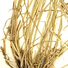 Stems: Glyceria acutiflora. ~ By William and Linda Steere and the C.V. Starr Virtual Herbarium. ~ Copyright © 2019 William and Linda Steere and the C.V. Starr Virtual Herbarium. ~ Barbara Thiers, Director; bthiers[at]nybg.org ~ C.V. Starr Herbarium - NY Botanical Gardens