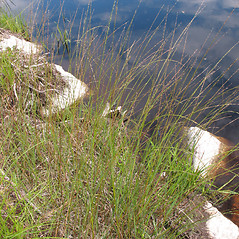 Plant form: Glyceria borealis. ~ By Marilee Lovit. ~ Copyright © 2019 Marilee Lovit. ~ lovitm[at]gmail.com