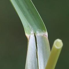 Ligules: Glyceria canadensis. ~ By Arieh Tal. ~ Copyright © 2019 Arieh Tal. ~ http://botphoto.com/ ~ Arieh Tal - botphoto.com