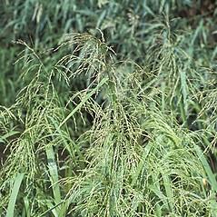 Plant form: Glyceria grandis. ~ By Anna Gardner. ~ Copyright © 2018. ~ dlewis[at]ias.edu ~ Ada Hayden Herbarium - Iowa State U.