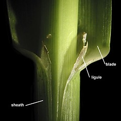 Stems and sheaths: Glyceria grandis. ~ By Anna Gardner. ~ Copyright © 2018. ~ dlewis[at]ias.edu ~ Ada Hayden Herbarium - Iowa State U.