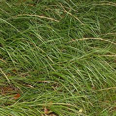 Plant form: Glyceria melicaria. ~ By Louis-M. Landry. ~ Copyright © 2020 Louis-M. Landry. ~ LM.Landry[at]videotron.ca  ~ CalPhotos - calphotos.berkeley.edu/flora/