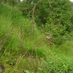 Plant form: Glyceria striata. ~ By Glen Mittelhauser. ~ Copyright © 2019 Glen Mittelhauser. ~ www.mainenaturalhistory.org