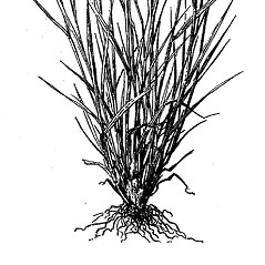 Leaves: Hordeum brachyantherum. ~ By Agnes Chase. ~  Public Domain. ~ None needed ~ A.S. Hitchcock. 1950. Manual of Grasses of the United States (2nd edition rev. Agnes Chase), USDA Misc. Pub. 200