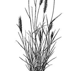 Leaves: Hordeum brachyantherum. ~ By USDA-NRCS PLANTS Database. ~  Public Domain. ~ None needed ~ USDA-NRCS Plants Database - plants.usda.gov/java/