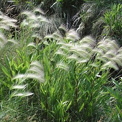 Plant form: Hordeum jubatum. ~ By Marilee Lovit. ~ Copyright © 2019 Marilee Lovit. ~ lovitm[at]gmail.com