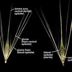 Spikelets: Hordeum jubatum. ~ By Anna Gardner. ~ Copyright © 2019. ~ dlewis[at]ias.edu ~ Ada Hayden Herbarium - Iowa State U.