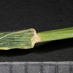 Stems and sheaths: Hordeum pusillum. ~ By Dale A. Zimmerman Herbarium - Western New Mexico University. ~ Copyright © 2019 Dale A. Zimmerman Herbarium - Western New Mexico University. ~ Dale A. Zimmerman Herbarium - Western New Mexico University ~ Dale A. Zimmerman Herbarium - Western New Mexico U.