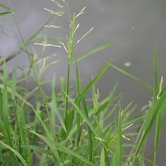 Plant form: Leersia oryzoides. ~ By Robert Vid_ki. ~ Copyright © 2020 CC BY-NC 3.0. ~  ~ Bugwood - www.bugwood.org/