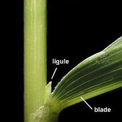 Ligules: Leersia oryzoides. ~ By Anna Gardner. ~ Copyright © 2020. ~ dlewis[at]ias.edu ~ Ada Hayden Herbarium - Iowa State U.