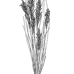 Plant form: Leptochloa fusca. ~ By Mary Barnes Pomeroy. ~ Copyright © 2020 Estate of Herbert Mason. ~ Any use permitted ~ Mason, HL. 1957. A flora of the Marshes of California. U. of California Press, Berkeley and Los Angeles, Library of Congress number 57-7960