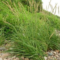 Plant form: Leymus mollis. ~ By Glen Mittelhauser. ~ Copyright © 2020 Glen Mittelhauser. ~ www.mainenaturalhistory.org
