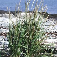 Plant form: Leymus mollis. ~ By Marilee Lovit. ~ Copyright © 2019 Marilee Lovit. ~ lovitm[at]gmail.com