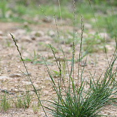 Plant form: Lolium perenne. ~ By Arieh Tal. ~ Copyright © 2020 Arieh Tal. ~ http://botphoto.com/ ~ Arieh Tal - botphoto.com