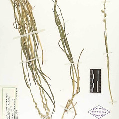 Plant form: Lolium temulentum. ~ By William and Linda Steere and the C.V. Starr Virtual Herbarium. ~ Copyright © 2020 William and Linda Steere and the C.V. Starr Virtual Herbarium. ~ Barbara Thiers, Director; bthiers[at]nybg.org ~ C.V. Starr Herbarium - NY Botanical Gardens