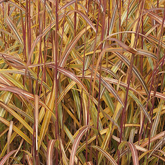 Leaves: Miscanthus sacchariflorus. ~ By Nick Kurzenko. ~ Copyright © 2019 Nick Kurzenko. ~ kurzenko[at]biosoil.ru  ~ CalPhotos - calphotos.berkeley.edu/flora/