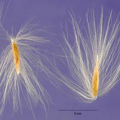Spikelets: Miscanthus sacchariflorus. ~ By Jose Hernandez. ~  Public Domain. ~  ~ USDA-NRCS Plants Database - plants.usda.gov/java/