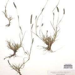 Plant form: Muhlenbergia alopecuroides. ~ By Arizona State Herbarium. ~ Copyright © 2019 Arizona State Herbarium. ~ Leslie Landrum, les.landrum[at]asu.edu ~ Southwest Environmental Information Network - swbiodiversity.org/seinet/imagelib/index.php