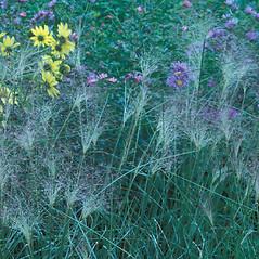 Plant form: Muhlenbergia capillaris. ~ By William Cullina. ~ Copyright © 2018 William Cullina. ~ bill[at]williamcullina.com