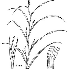 Ligules: Muhlenbergia frondosa. ~ By Elsie Froeschner. ~ Copyright © 2018 Ellen L. Froeschner. ~ Ellen L. Froeschner, 1939-A Frankin Blvd., Carmel Indiana 46032 ~ Ada Hayden Herbarium - Iowa State U.