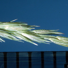 Spikelets: Muhlenbergia frondosa. ~ By Ken Chamberlain. ~ Copyright © 2019 CC BY-NC 3.0. ~  ~ Bugwood - www.bugwood.org/
