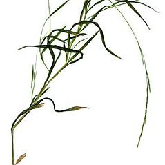 Plant form: Muhlenbergia mexicana. ~ By Anna Gardner. ~ Copyright © 2018. ~ dlewis[at]ias.edu ~ Ada Hayden Herbarium - Iowa State U.