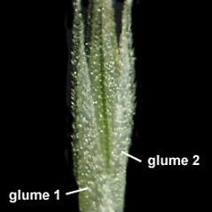 Spikelets: Muhlenbergia mexicana. ~ By Anna Gardner. ~ Copyright © 2019. ~ dlewis[at]ias.edu ~ Ada Hayden Herbarium - Iowa State U.
