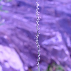 Inflorescences: Muhlenbergia richardsonis. ~ By Arthur Haines. ~ Copyright © 2019. ~ arthurhaines[at]wildblue.net