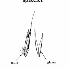 Spikelets: Muhlenbergia sylvatica. ~ By Agnes Chase. ~  Public Domain. ~ None needed ~ A.S. Hitchcock. 1950. Manual of Grasses of the United States (2nd edition rev. Agnes Chase), USDA Misc. Pub. 200