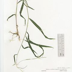 Plant form: Muhlenbergia tenuiflora. ~ By The Herbarium of The Morton Arboretum (MOR). ~ Copyright © 2019 The Morton Arboretum. ~ Ed Hedborn, The Morton Arboretum ~ The Herbarium of The Morton Arboretum