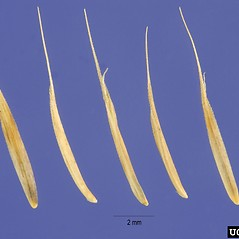 Spikelets: Nardus stricta. ~ By Steve Hurst. ~  Public Domain. ~  ~ USDA-NRCS Plants Database - plants.usda.gov/java/