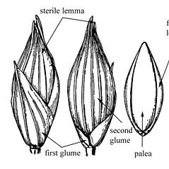 Spikelets: Panicum amarum. ~ By USDA-NRCS PLANTS Database. ~  Public Domain. ~ None needed ~ USDA-NRCS Plants Database - plants.usda.gov/java/