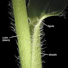 Ligules: Panicum capillare. ~ By Anna Gardner. ~ Copyright © 2018. ~ dlewis[at]ias.edu ~ Ada Hayden Herbarium - Iowa State U.