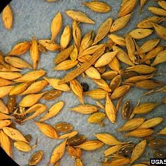 Spikelets: Panicum capillare. ~ By Lynn Sosnoskie. ~ Copyright © 2019 CC BY-NC 3.0. ~  ~ Bugwood - www.bugwood.org/
