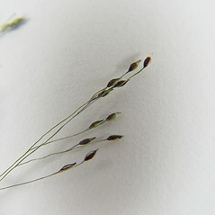 Spikelets: Panicum philadelphicum. ~ By Donald Cameron. ~ Copyright © 2019 Donald Cameron. ~ No permission needed for non-commercial uses, with proper credit