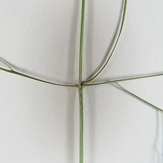 Stems and sheaths: Panicum philadelphicum. ~ By Donald Cameron. ~ Copyright © 2019 Donald Cameron. ~ No permission needed for non-commercial uses, with proper credit