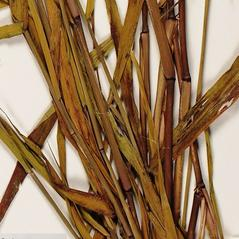 Stems and sheaths: Panicum verrucosum. ~ By Troy University Herbarium. ~ Copyright © 2018. ~ Brian Keener, bkeener[at]uwa.edu ~ Troy U. Herbarium