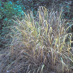 Plant form: Panicum virgatum. ~ By Cheryl Lowe. ~ Copyright © 2018 New England Wild Flower Society. ~ Image Request, images[at]newenglandwild.org