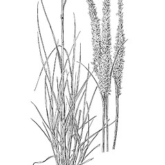 Plant form: Pappophorum vaginatum. ~ By Mary Barkworth. ~ Copyright © 2018 Mary Barkworth. ~ Mary.Barkworth[at]usu.edu ~ Manual of Grasses for North America