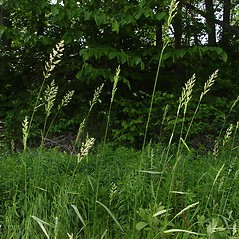 Plant form: Phalaris arundinacea. ~ By Donald Cameron. ~ Copyright © 2020 Donald Cameron. ~ No permission needed for non-commercial uses, with proper credit