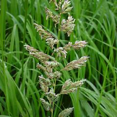 Inflorescences: Phalaris arundinacea. ~ By Glen Mittelhauser. ~ Copyright © 2019 Glen Mittelhauser. ~ www.mainenaturalhistory.org