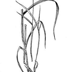 Plant form: Phalaris canariensis. ~ By USDA-NRCS PLANTS Database. ~  Public Domain. ~ None needed ~ USDA-NRCS Plants Database - plants.usda.gov/java/