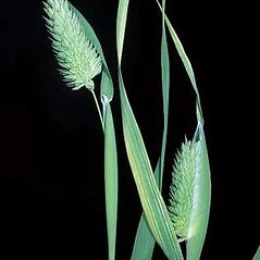 Inflorescences: Phalaris canariensis. ~ By Joseph DiTomaso. ~ Copyright © 2018 CC BY-NC 3.0. ~  ~ Bugwood - www.bugwood.org/