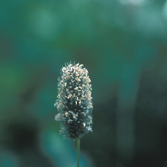 Inflorescences: Phleum alpinum. ~ By Mary Walker. ~ Copyright © 2017 New England Wild Flower Society. ~ Image Request, images[at]newenglandwild.org