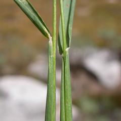 Ligules: Phleum alpinum. ~ By Matt Lavin. ~ Copyright © 2018 CC BY-SA 2.0. ~  ~ www.flickr.com/photos/plant_diversity/